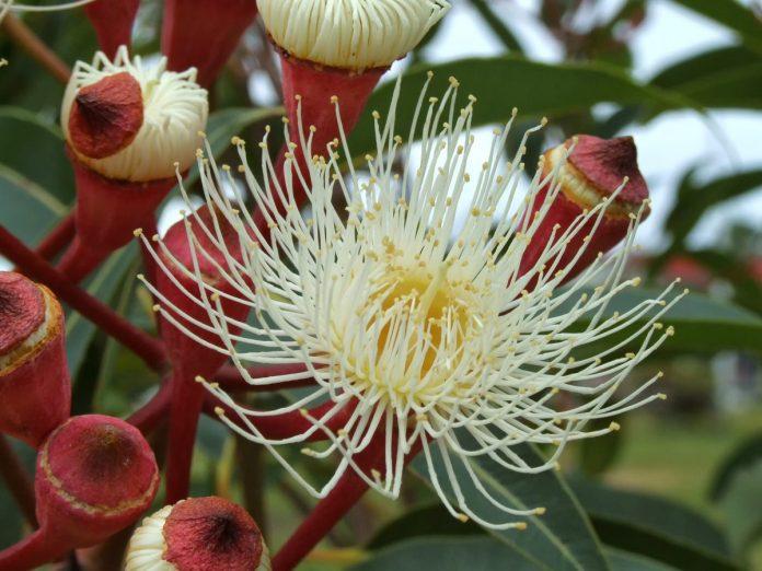 Huile essentielle eucalyptus